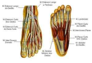 Mapa dos músculos dos pés