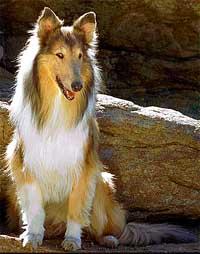 """Lessie, a cadela de raça collie fez muito sucesso na TV e simboliza o cão fiel e """"eterno amigo do homem"""""""