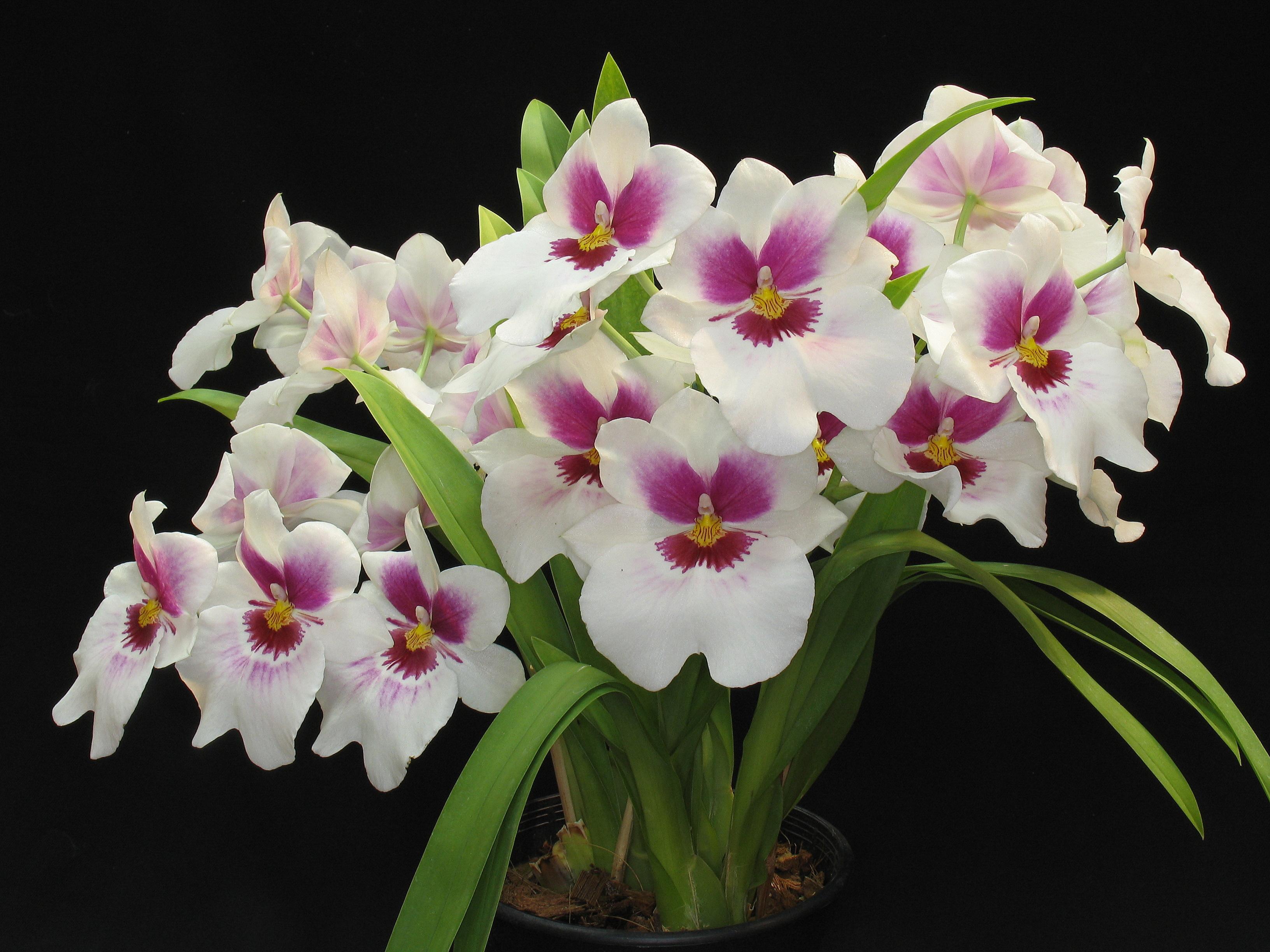 Tipos de orquideas for Plantas ornamentales con flores